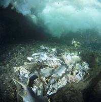分解されていく河床のカラフトマスの死骸 32071002694| 写真素材・ストックフォト・画像・イラスト素材|アマナイメージズ