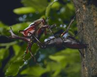カブトムシとノコギリクワガタのケンカ 32073000087| 写真素材・ストックフォト・画像・イラスト素材|アマナイメージズ