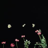 モンシロチョウ 飛ぶ マルチストロボ 32073000089| 写真素材・ストックフォト・画像・イラスト素材|アマナイメージズ