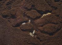 クロオオアリの巣内部