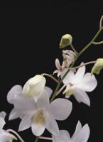 ランの花に擬態するハナカマキリの幼虫 32073000242| 写真素材・ストックフォト・画像・イラスト素材|アマナイメージズ