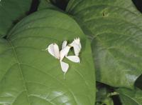 ハナカマキリの幼虫 32073000243| 写真素材・ストックフォト・画像・イラスト素材|アマナイメージズ