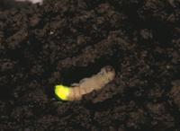 地中で発光するゲンジボタルの蛹