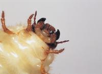 カブトムシの幼虫の口 32073000319| 写真素材・ストックフォト・画像・イラスト素材|アマナイメージズ