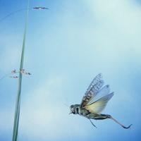 トノサマバッタ 飛ぶ