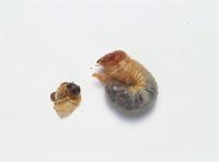 カブトムシの幼虫 脱皮直後の3齢幼虫 32073000959| 写真素材・ストックフォト・画像・イラスト素材|アマナイメージズ