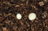 カブトムシの卵(左:産卵直後 右:産卵一週間後)