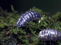 ダンゴムシ 孵化直後の幼虫と成虫