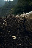 カブトムシの幼虫 秋 32073001327| 写真素材・ストックフォト・画像・イラスト素材|アマナイメージズ