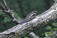 雨の日に木の幹に隠蔽擬態するヨタカ