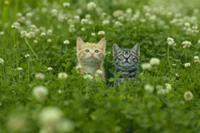 シロツメクサ畑の子ネコ