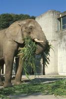 エサを食べるアフリカゾウ
