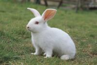 カイウサギの子