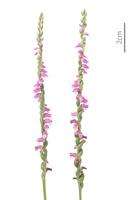 ネジバナ 花