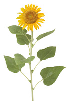 ヒマワリ 花