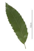 クヌギの葉 表面