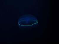 発光するオワンクラゲ *「撮影協力 鶴岡市立加茂水族館」と明