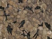 洞窟の壁の巣にとまるドウクツアナツバメ(クリスマス島亜種)