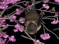 カンヒザクラの花蜜を舐めにきたオリイオオコウモリのオス