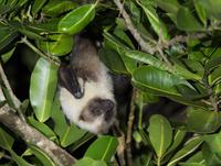 ぶら下がるダイトウオオコウモリのメス