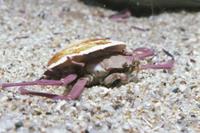 二枚貝の殻を背負ったヘイケガニ 32080000080| 写真素材・ストックフォト・画像・イラスト素材|アマナイメージズ