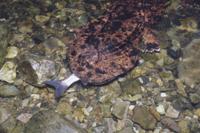 ウグイを食べるオオサンショウウオ 32080000083| 写真素材・ストックフォト・画像・イラスト素材|アマナイメージズ