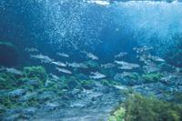 越冬する狩野川のアユ