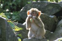 葉を食べるニホンザルの子(9-5ヶ月?)