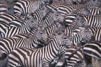 サバンナシマウマ(グラントシマウマ)の群れ
