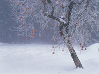 冬の残り柿 32082000003  写真素材・ストックフォト・画像・イラスト素材 アマナイメージズ