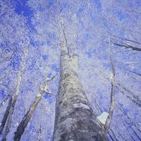 冬のブナ 32082000030  写真素材・ストックフォト・画像・イラスト素材 アマナイメージズ