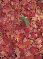 ハウチワカエデの落葉とクマイザサ 32084000097  写真素材・ストックフォト・画像・イラスト素材 アマナイメージズ