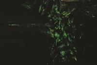 ナラタケの菌糸発光