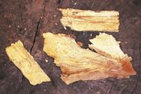 ナラタケの菌糸発光:菌糸が存在する木片