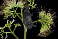 リュウゼツランの花を訪れるオガサワラオオコウモリ