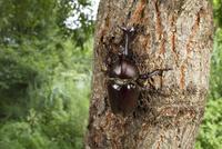樹液にくるカブトムシ
