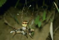 バッタを捕食するコガタコガネグモ