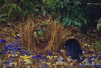 アオアズマヤドリの求愛行動 巣にメスを誘う