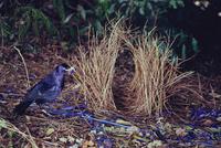 アオアズマヤドリのオス 巣作り