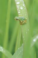 雨上がりの草にとまるニホンアマガエル(アマガエル)