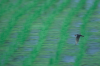 ツバメ 成鳥 飛ぶ