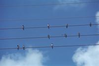 ツバメ 電線に並んだ成鳥 若鳥