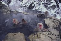 温泉につかるニホンザル