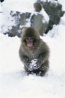 雪を丸めて遊ぶニホンザル