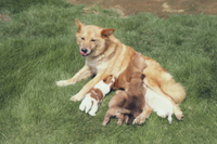 柴犬の雑種の授乳(Shiba-Dog)