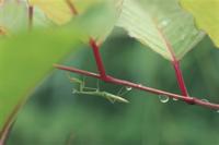 雨宿りをするオオカマキリの幼虫