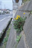 石垣に咲いたセイヨウタンポポ