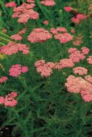 セイヨウノコギリソウ(ヤロウ・レッド) の花