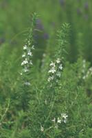 ウィンター・セボリーの花