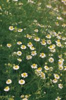 ジャーマンカモミール(カミツレ)の花